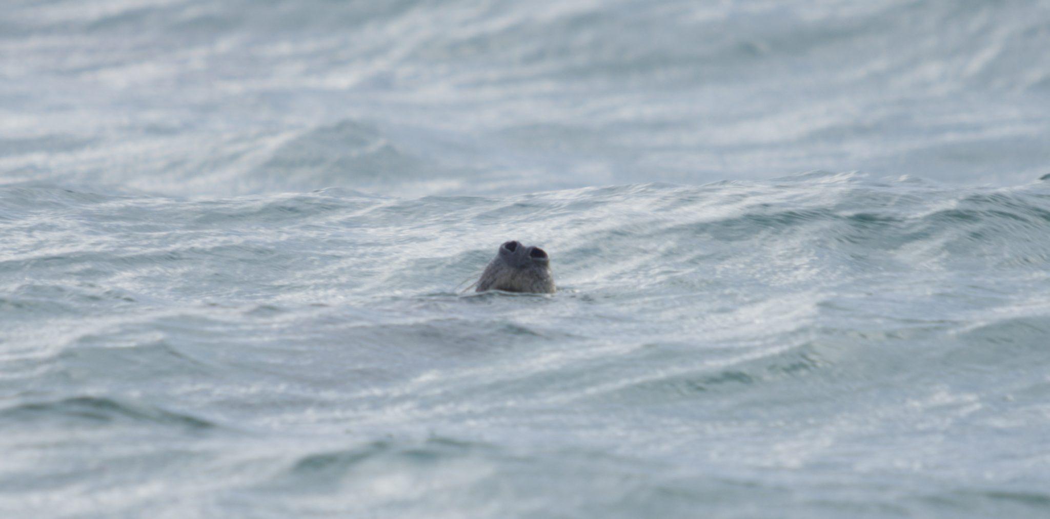 A seal takes a breath